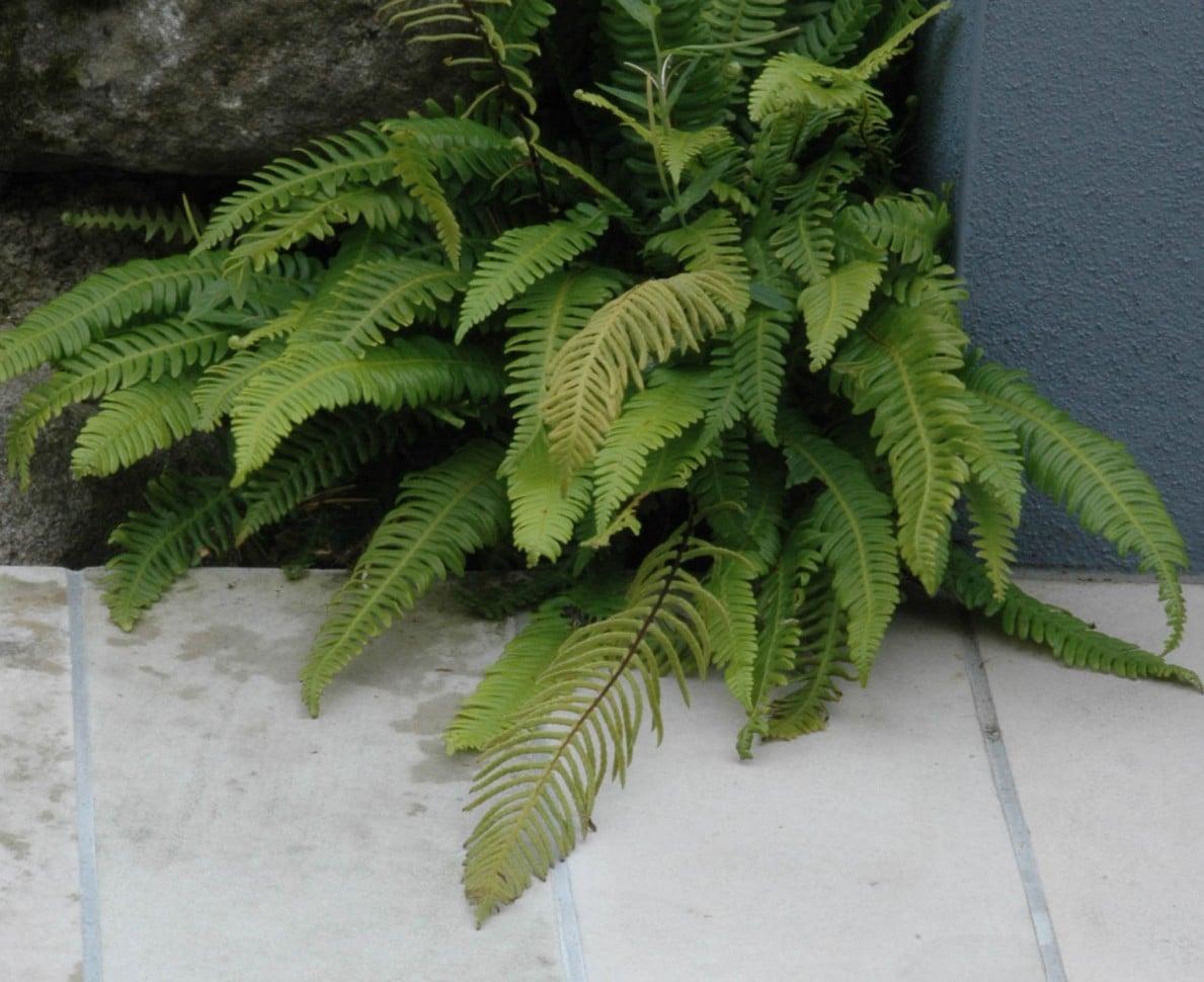 Close up of a fern in the Modern Japanese Garden