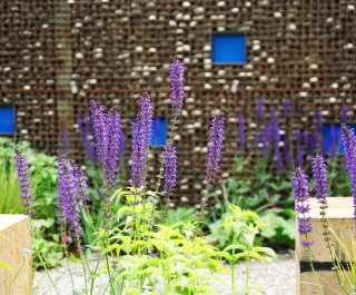 Westonbirt 'Situation' garden - purple flowers against the architectural wall